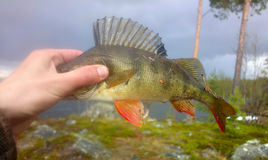 Perch fishing Northern fish Royalty Free Stock Photography