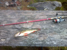 Perch fishing Northern fish Stock Photography