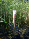 Perch fishing river freshwater fish Royalty Free Stock Photo