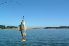 Perch on fishing-rod stock photo
