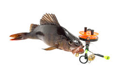 Perch with a fishing rod on a white background. The caught fish on bait on a white background Stock Photography