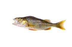 Perch fisken (för Percafluviatilis som) isoleras på white Royaltyfri Foto
