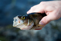 Perch in hand with big mouth. Fishing Stock Image