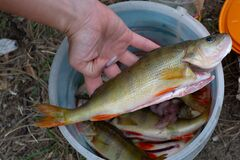 perch in hand.cooking in nature