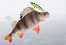 Perch hanging on hooks Stock Photo