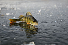 Perch on ice Stock Photography