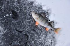 Perch on ice Royalty Free Stock Photos