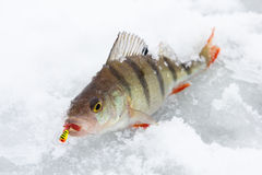 Perch on ice. With bait in mouth Royalty Free Stock Photography