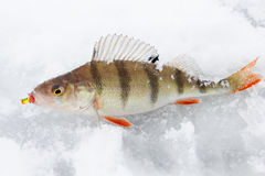 Perch on ice. With bait in mouth Royalty Free Stock Image
