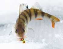 Perch on ice. Small fish on ice with bait in mouth Royalty Free Stock Photos