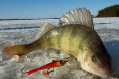 Perch. Ice fishing catch, perch. Caught on March Stock Photos