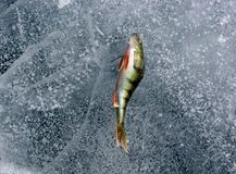 Perch on the ice Royalty Free Stock Photography