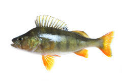 Perch Isolated Stock Image