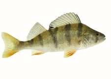 Perch isolated on white background. Live fish photo in aquarium Stock Image