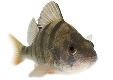 Perch isolated on white background. Live fish photo in aquarium Royalty Free Stock Images