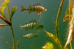 Perch in the lake. On the plants background royalty free stock photography