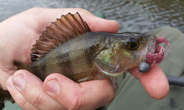 Perch with lure Royalty Free Stock Image
