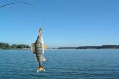 Perch On Fishing-rod Stock Photo