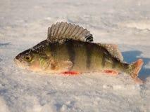 Perch på is Fotografering för Bildbyråer