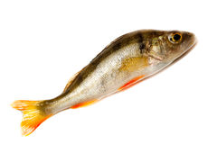 Perch, Perca Stock Images