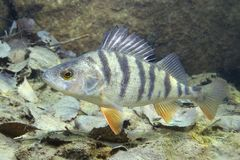Perch perca fluviatilis royalty free stock photo