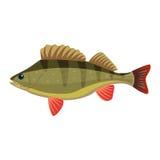 Perch perca fluviatilis percidae fish. Perch perca fluviatilis percidae marine biology fish Royalty Free Stock Images