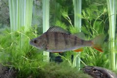 Perch, Perca fluviatilis Stock Photo