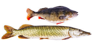 Perch and pike - two typical freshwater predators. Isolated on white background Royalty Free Stock Photos