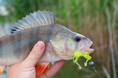 Perch silicone bait in his mouth Stock Photos