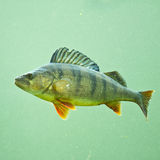 Perch 2 Royalty Free Stock Photos