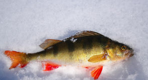 Perch on snow. Perch laying in the snow after ice fishing Royalty Free Stock Photos