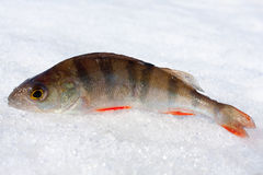 Perch in the snow Royalty Free Stock Photography