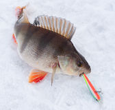 Perch with spinning lure in mouth Royalty Free Stock Image