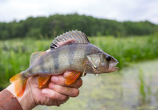 Perch striped predator. Perch on the fisherman`s hand with a beautiful large fin Royalty Free Stock Images