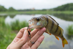Perch striped predator. The perch on the hook Stock Photo