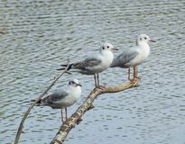 A perch for three little gulls. Three little gulls share a resting branch over the water Stock Photo