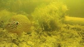 Perch under water in the river. California perch swims under water in the river close-up. Perch swim near the sandy river bottom between algae. Yellow sand stock footage