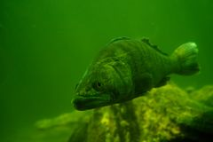 Perch underwater Royalty Free Stock Photos