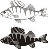 Perch - vector illustration of freshwater fish Stock Photos