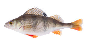 Perch on white, clipping path Stock Images