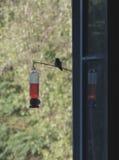 perchching蜂鸟的剪影  免版税库存照片