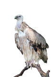Perche d'isolement de vautour sur le joncteur réseau Image stock