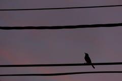 Perche d'oiseau de silhouette sur la ligne de câble Photo libre de droits
