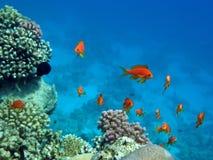 Perche de corail rouge Image stock