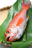 Perche de mer de Blackthroat, bar attrayant, poisson de première qualité japonais Image libre de droits