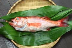 Perche de mer de Blackthroat, bar attrayant, poisson de première qualité japonais Photographie stock