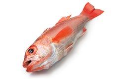 Perche de mer de Blackthroat, bar attrayant, poisson de première qualité japonais Image stock