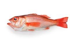 Perche de mer de Blackthroat, bar attrayant, poisson de première qualité japonais Images libres de droits
