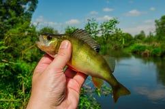 Perche de poissons Images stock