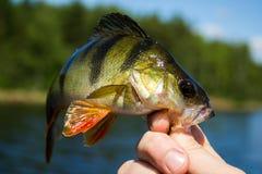 perche de poissons dans la main du pêcheur à la ligne Photos stock